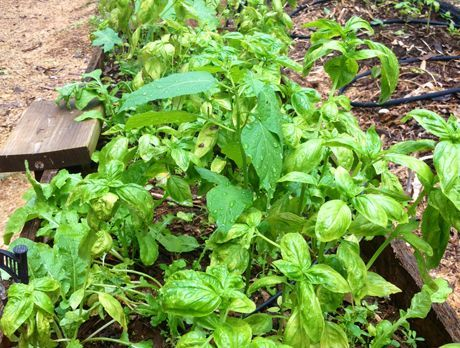 Green Basil Pesto