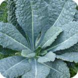 Dark Green Leafy Vegetables